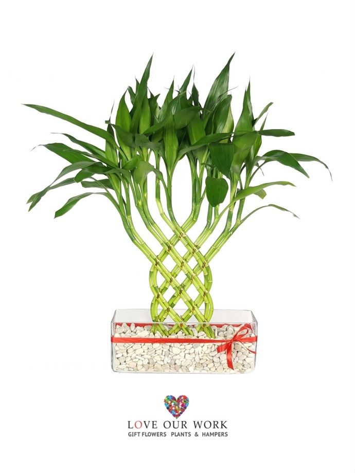 The meaning of lucky bamboo plays an important role as a living