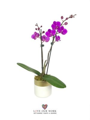 Dance like no-one's watching! The Table Dance Orchid, while being a miniature orchid, has a larger number