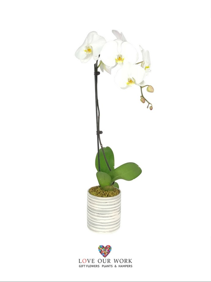 This elegant classic, the white single-spiked Phalaenopsis Orchid, makes a perfect centerpiece