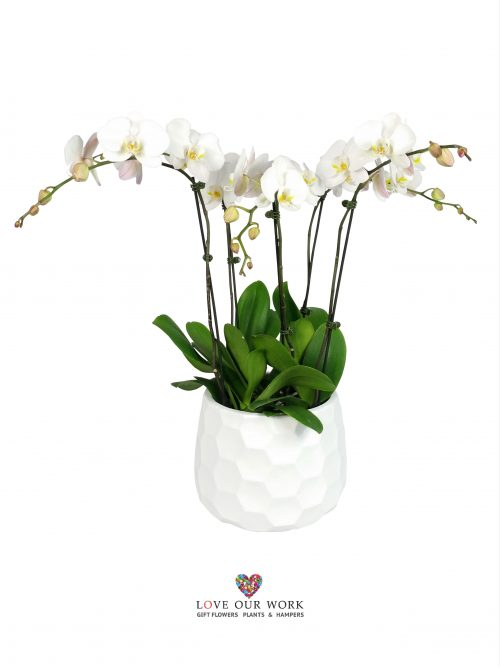 Pure. White. Bliss. This five spiked Phalaenopsis orchids is made from separate living plants