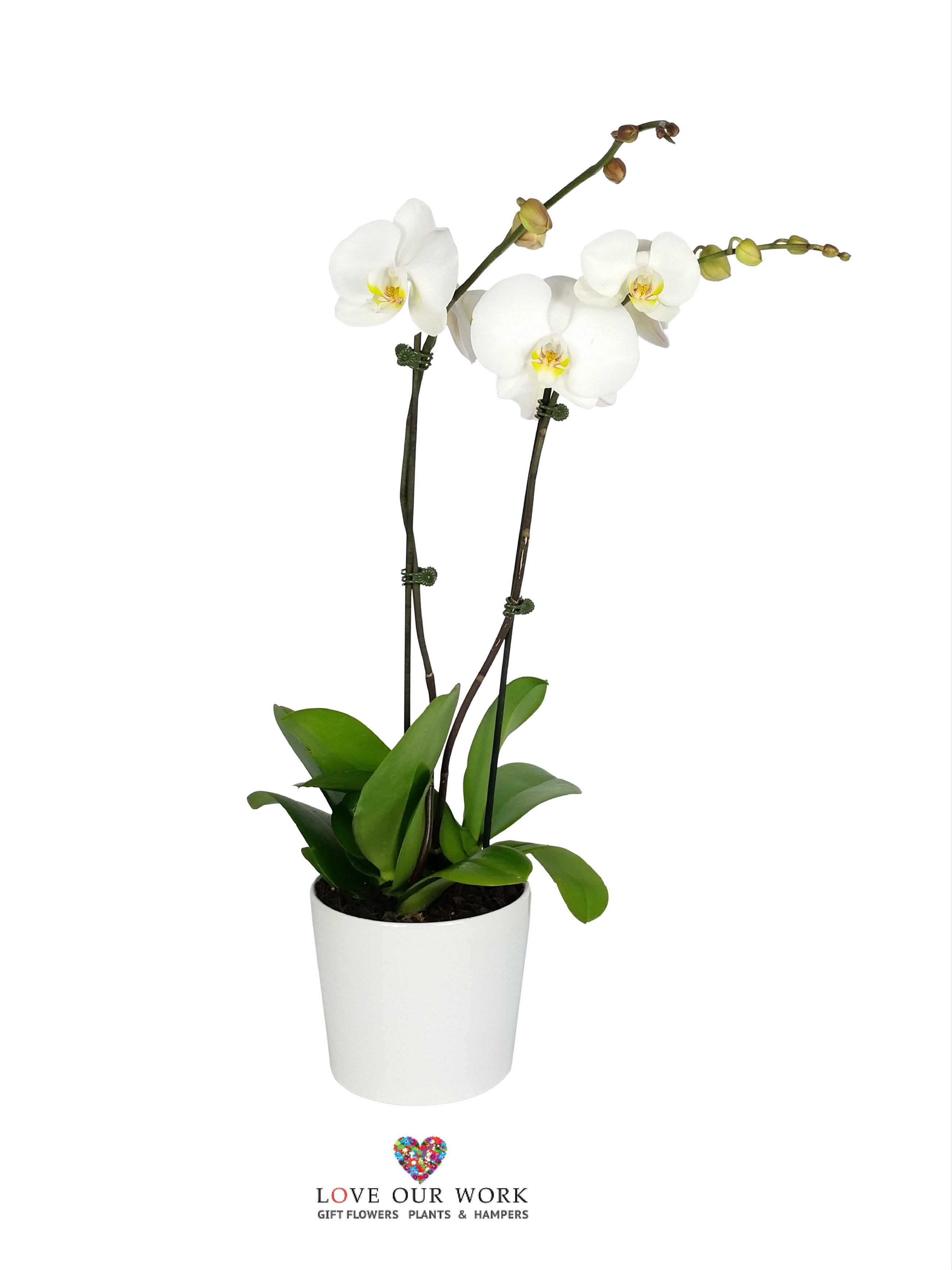 Pure. White. Bliss. Double spiked Phalaenopsis orchids make a perfect centerpiece