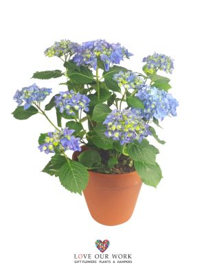 Always appreciated. This versatile plant is perfect for a mum's birthday, a house warming gift