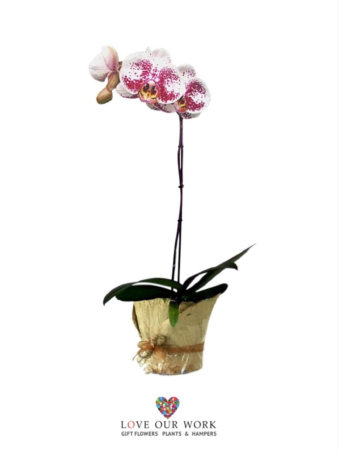Same day delivery Harlequin Phalaenopsis Orchids
