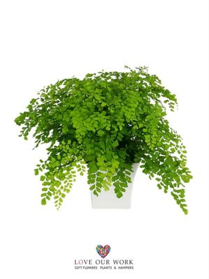 Order online and have this Ornamental Maiden Hair Fern delivered