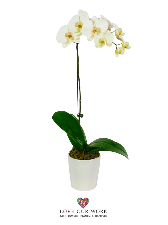 Buy & send single-spiked Phaleanopsis Orchid Gift Plants Online
