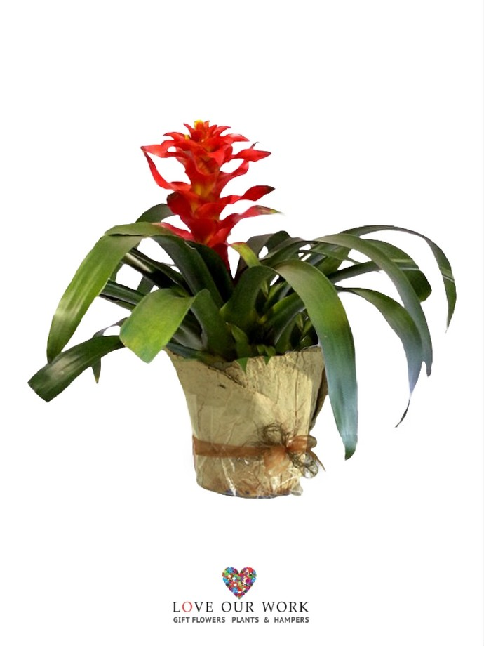 Add life & colour to any indoor or outdoor room with Bromeliads